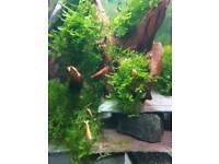 10 x Red cherry shrimp