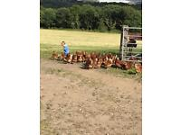 Free range chickens/hens laying *15 left*