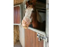 Welsh D Mare for Loan