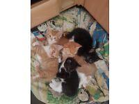 2 black and white kittens left