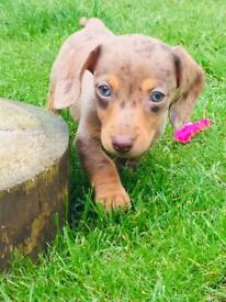 Miniature dachshund chocolate dapple KC FEMALE