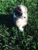 Beautiful Australian Shepherd puppies