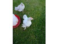 Bantam chicks 1 male and 1 female