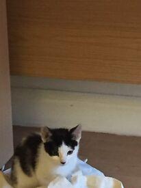 Cute black and white 9 week male kitten