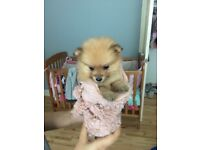 6 weeks old Pomeranian puppy's for sale 3 girls and 3 boys available