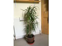 Large House Plant (Dracaena Marginata or similar)
