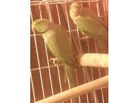 bird parrot pair indian ringneck