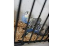 Tamed baby budgies