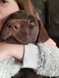 Chocolate labrador puppy chunky boy. Ready to leave 8wks old. KC REGISTERED