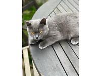 Outstanding Blue British Shorthair Male kitten