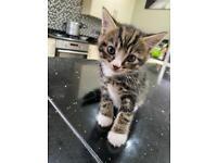 lovely tabby kitten (SOLD)