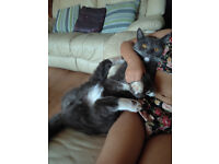 British blue short hair grey cat. Looking for a new home, very tame cat. Very gentle with children.