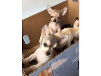Tiny Unsual Chihuahua Smooth Coat Pups