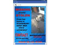 ***Please help to find this beautiful whippet bitch...substantial reward for safe return..****