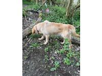 Beautiful Golden Retriever/ Labrador