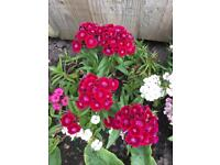 Sweet William perennials flowers plants