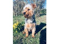 Teddy Yorkshire terrier looking for loving home