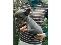 Blue Frenchie available