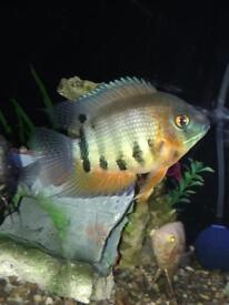 Two red shoulder Severum fish £10 each