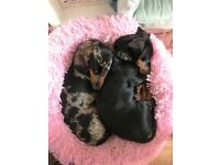 Rescued dachshund puppies from Hungary are looking for new home