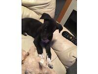 Lurcher female puppy