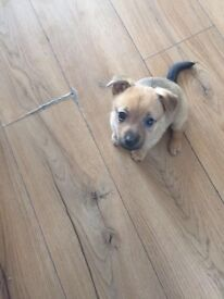 Jackeranian Puppies For Sale