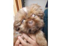 Shitzu puppy for sale ,
