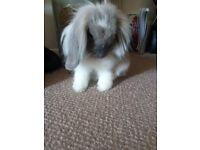 6 month old Rabbit and hutch for sale needs rehoming