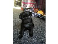 KC Registerd Pug puppies