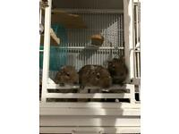 3 male Degus and cage