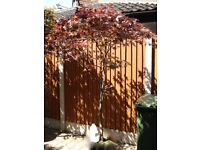 Japanese maple specimen tree,Acer palmatum Atropurpureum 7ft highx 6ft spread in blue ceramic pot.