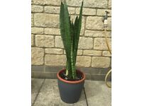 Sansevieria Zeylanica Snake Plant Mother in a laws Tongue Plant 60cm tall plant with Pot