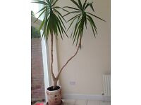 YUCCA & TERRACOTTA POT huge plant 25 YEAR OLD ideal for conservatory or office HILLSBOROUGH AREA