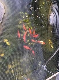 Pond Gold Fish Pet