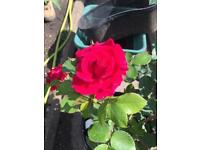 Strong pink upright rose plant