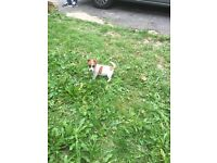 Puppy miniature jack Russell