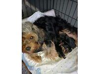 7 king yorkie puppies