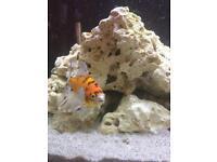 Big ol goldfish
