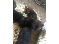 German shepherd puppies KC reg, insured, vet checked, microchipped, 1st injection