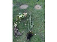 Pond Plants: Water Lilies, Horsetails and Irises for sale