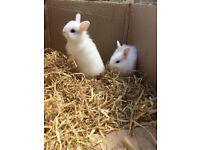 Beautiful Netherlands dwarf baby rabbits long hair
