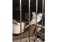 Coloured birds like Canary for sale