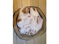beauttifull adorable Jack Russel puppies