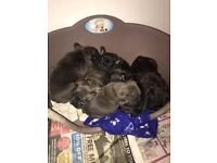 French bulldog puppies (Blue, Brindle in the litter)