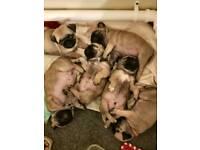Pure pug puppies