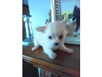 T,Cup Long haired white male puppies for sale