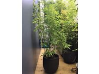 Bamboo Plants in POT ( One Pot )