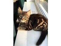 Pretty male tabby kitten very fluffy