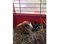 Pair of baby boar guinea pigs