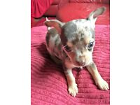chihuahua puppies for sale two boys and two girls left